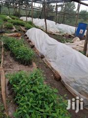 Eucalyptus Seedlings For Sale | Feeds, Supplements & Seeds for sale in Central Region, Wakiso