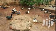 Ducks White, Also Have Black | Other Animals for sale in Central Region, Kampala