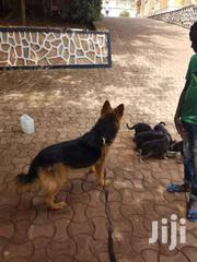 German Shepherd Pups | Dogs & Puppies for sale in Central Region, Wakiso