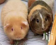 Gene Pigs (Sold In Pairs) | Other Animals for sale in Central Region, Kampala