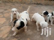 Young Male Mixed Breed American English Coonhound   Dogs & Puppies for sale in Central Region, Mukono