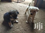 Baby Male Mixed Breed Maltese   Dogs & Puppies for sale in Central Region, Wakiso