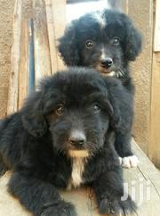 Baby Male Purebred Poodle   Dogs & Puppies for sale in Central Region, Wakiso