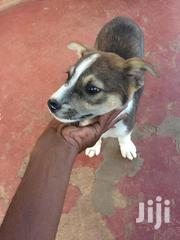 Young Female Purebred Collie | Dogs & Puppies for sale in Central Region, Kampala