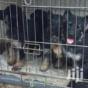 G Shepherds Pups | Dogs & Puppies for sale in Central Region, Kampala