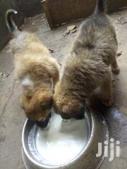 Senior Male Mixed Breed | Dogs & Puppies for sale in Central Region, Kampala