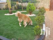 Adult Male Purebred Golden Retriever | Dogs & Puppies for sale in Central Region, Kampala