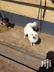 Miniature Japanese Spitz | Dogs & Puppies for sale in Central Region, Kampala