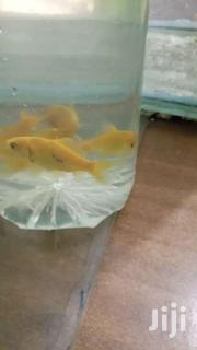 Yellow Commet Gold Fish | Pet's Accessories for sale in Central Region, Kampala