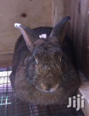 Hybreed Rabbits   Other Animals for sale in Central Region, Wakiso