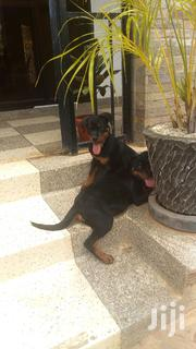 Young Female Purebred Rottweiler | Dogs & Puppies for sale in Central Region, Kampala