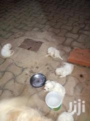 Baby Male Purebred Maltese | Dogs & Puppies for sale in Central Region, Mukono