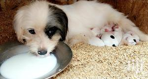 Baby Male Mixed Breed Japanese Spitz