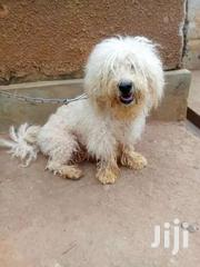 Cute Hose Dog Already Vaccinated At Only 350k | Dogs & Puppies for sale in Central Region, Kampala