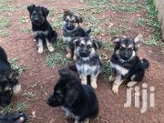 German Shepherd Dogs | Dogs & Puppies for sale in Eastern Region, Jinja