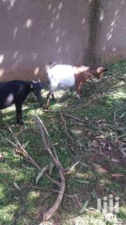 Healthy Goats For Sale | Other Animals for sale in Central Region, Wakiso