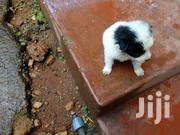 Japanese Spitz Puppies | Dogs & Puppies for sale in Central Region, Kampala
