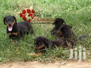 Rottweiler Puppies On Sale | Dogs & Puppies for sale in Central Region, Kampala