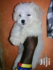 Beautiful Maltese Puppies | Dogs & Puppies for sale in Central Region, Kampala