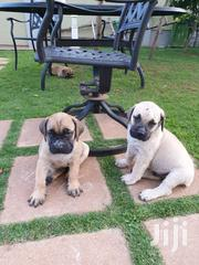 Boreboel Puppies | Dogs & Puppies for sale in Central Region, Kampala