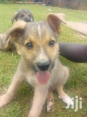 Young Male Mixed Breed German Shepherd Dog | Dogs & Puppies for sale in Central Region, Wakiso