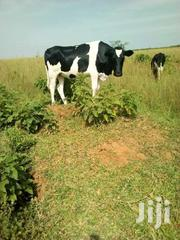 Cows I | Other Animals for sale in Central Region, Kampala