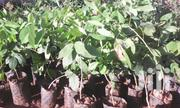 Seedlings Of Beyo(Afzieli Africans)  Onsale | Automotive Services for sale in Nothern Region, Gulu