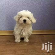2 Maltese Puppies On Sale | Dogs & Puppies for sale in Central Region, Kampala