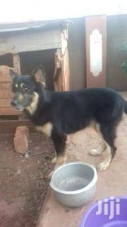 Germany Shepherd Make Available | Dogs & Puppies for sale in Central Region, Kampala