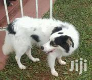 Terrier Dogs | Dogs & Puppies for sale in Central Region, Kampala