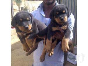 Rottweiler Active Pure Breed Puppies