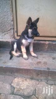 Male German Shepherd Puppies For Sale. | Dogs & Puppies for sale in Central Region, Kampala