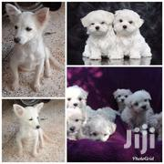 Maltese And Japanese Spits Puppies | Dogs & Puppies for sale in Central Region, Kampala