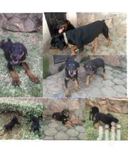 Rottdober Puppies | Dogs & Puppies for sale in Western Region, Kisoro
