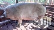 Nice Pigs 150kg   Other Animals for sale in Central Region, Kampala