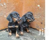 Duschund Puppy Male | Dogs & Puppies for sale in Central Region, Kampala