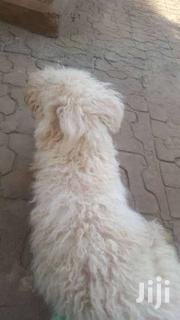 French Poodles | Dogs & Puppies for sale in Central Region, Kampala