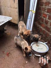 German Shepherds   Dogs & Puppies for sale in Central Region, Kampala