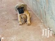 South African Mastiff | Dogs & Puppies for sale in Central Region, Kampala
