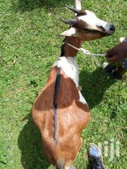 Healthy Goats | Other Animals for sale in Central Region, Wakiso