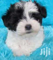 Black And White Male Maltese | Dogs & Puppies for sale in Central Region, Kampala