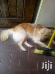 American Eskimo | Dogs & Puppies for sale in Central Region, Kampala