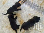 Pure Boerbells | Dogs & Puppies for sale in Central Region, Kampala
