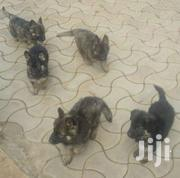 Germany Shepherd Puppies | Dogs & Puppies for sale in Central Region, Kampala