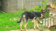 Germany Shepherd Female | Dogs & Puppies for sale in Central Region, Kampala