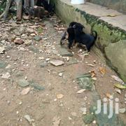 Pups On Sell | Dogs & Puppies for sale in Central Region, Kampala