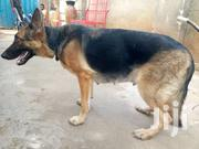 Guard Dog On Sale | Dogs & Puppies for sale in Central Region, Kampala