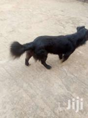 Black Nice Retriever Dog On Sale | Dogs & Puppies for sale in Central Region, Kampala