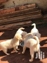 Maltese Puppies For Sale 3 Months Old | Dogs & Puppies for sale in Central Region, Kampala
