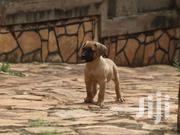 Boerboel Male | Dogs & Puppies for sale in Central Region, Kampala